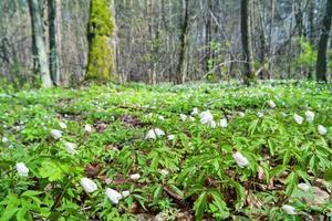 snödroppar i skogen. foto