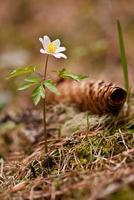 vita anemoner i skogen foto