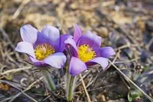 violetta snödroppar blommar våren i skogen foto