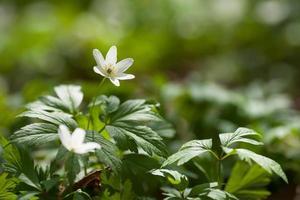 vita blommor anemone i skogen. första vårblommor