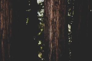 desaturated redwood nature background foto