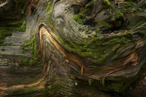 bakgrund redwood träd