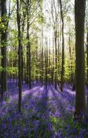 vacker morgon på våren blåklocka skog med solstrålar throu foto