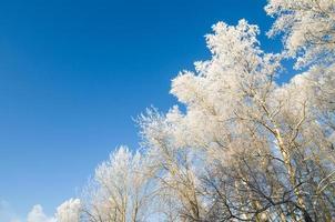 toppar av träd täckta med rimfrost mot den blå himlen