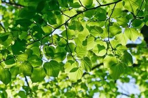 gröna blad bakgrund foto