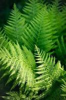 närbild av ormbunkar i skogen foto