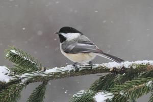 chickadee på en gren med snö foto