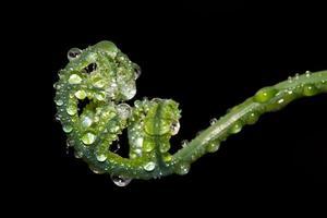 droppar vatten på en ormbunke. foto