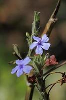 eranthemum roseum, rosy eranthemum, blue eranthemum, dasmuli