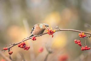 fågel som äter bär under hösten