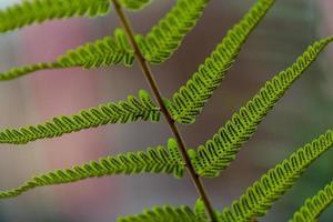 fern blad