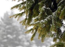 grön granfilial med snö på vintern