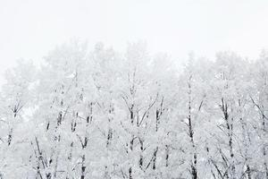 björkträd i en snöig skog svartvitt