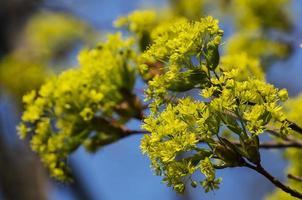 lönnblommor och löv på vårens naturliga ljus foto