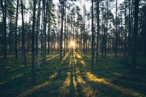 gammal skog med mossatäckta träd, solstrålar. retro foto