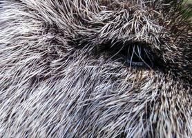 vildsvins öga foto