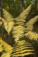gulnande ormbunkar - helechos amarillos de otoño