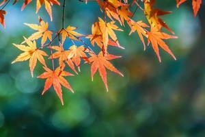 röda lönnlöv på hösten foto