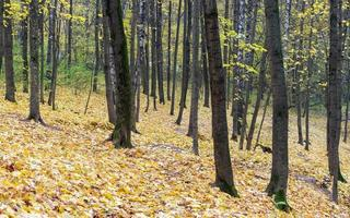 höstlönnlöv ligger i skogen. fokusera på förgrunden.