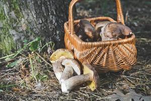 grupp av vita svampar nära rotting korg i skogen