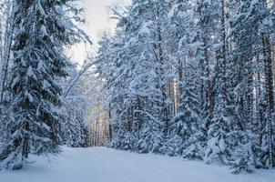 gran täckt med snö i vinterskogen. viitna, estland. foto