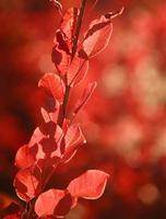 vackert höstlandskap i skog, röda blad i solljus foto