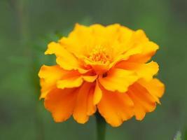 orange ringblomma foto