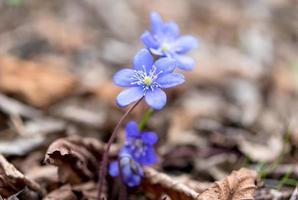 hepatica blommor foto