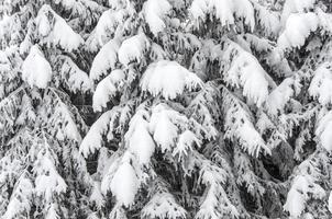 bakgrund med snöiga granar foto