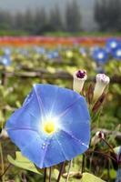 blå morgon ära blommor i trädgården foto