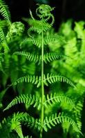 närbild av en grön ormbunke