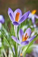 de första vårblommorna, krokusar i en skog foto