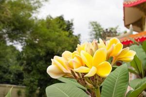 gul frangipani foto