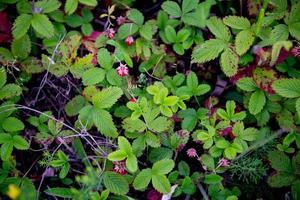 vilda jordgubbar i ett fält foto