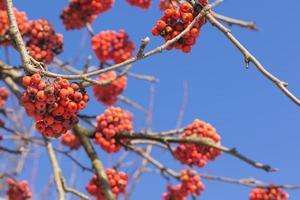 grenar med röd ask foto