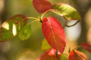 närbild röda och gröna höstlöv foto