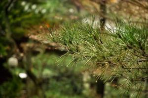 tall på suddig färgstark bakgrund skog. regndroppar på tall foto