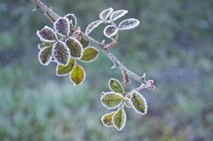 bramble gren täckt av frost foto