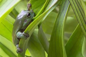 australisk grön trädgroda foto