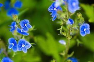vild blomma
