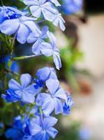 violett blå blomning foto