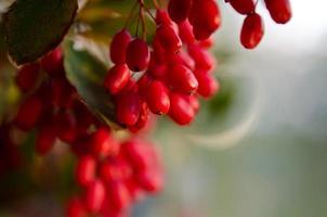 röda barberbär på trädet foto