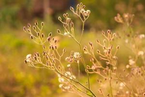lila fleabane, lite järngräs, askfärgad fleabane. foto