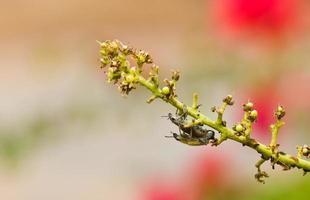 vacker insektsuppfödning på en bukett mango foto