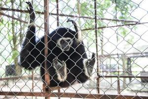 gibbon bakom buren. foto