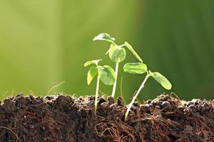tre plantor i grönsakträdgård. foto