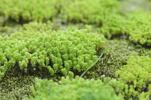 frodig grön mossa foto