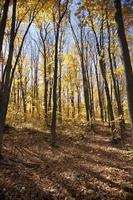 gyllene buske
