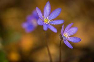 blå sprigtime leverblomma (hepatica nobilis) foto
