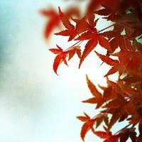 röd japansk lönnlöv bakgrund